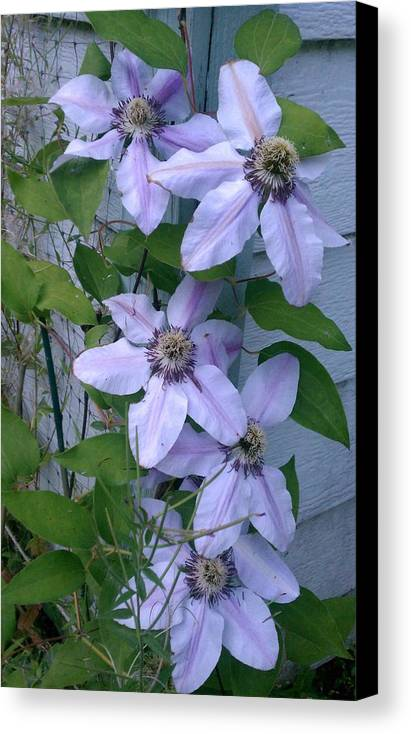 Clematis Canvas Print featuring the photograph Wallflowers by Kevin D Davis