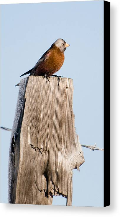 Photography Canvas Print featuring the photograph Gray-crowned Rosy-finch by Joel Brady-Power