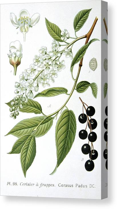 Bird Canvas Print featuring the painting Bird Cherry Cerasus Padus Or Prunus Padus by Anonymous