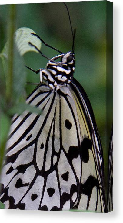 Butterfly Canvas Print featuring the photograph Hanging On by Natalie Rotman Cote