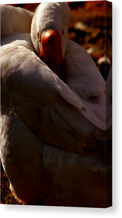 Swan Canvas Print featuring the photograph Sleeping Swan by LoungeMode Productions