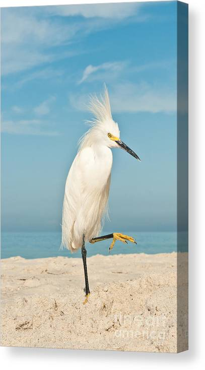 Egret Canvas Print featuring the photograph Snowy Egret Standing On Sandy Beach On by Robert F. Leahy