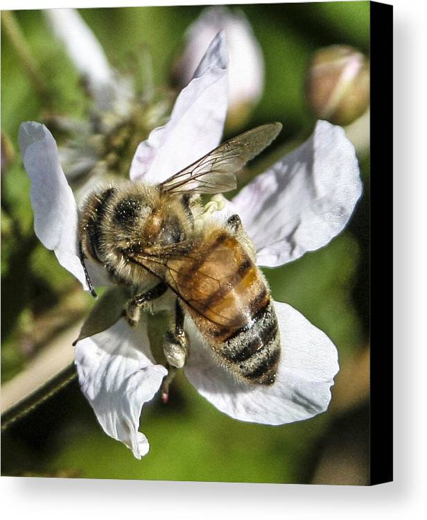 Bee Canvas Print featuring the photograph Bee by Steven Taylor