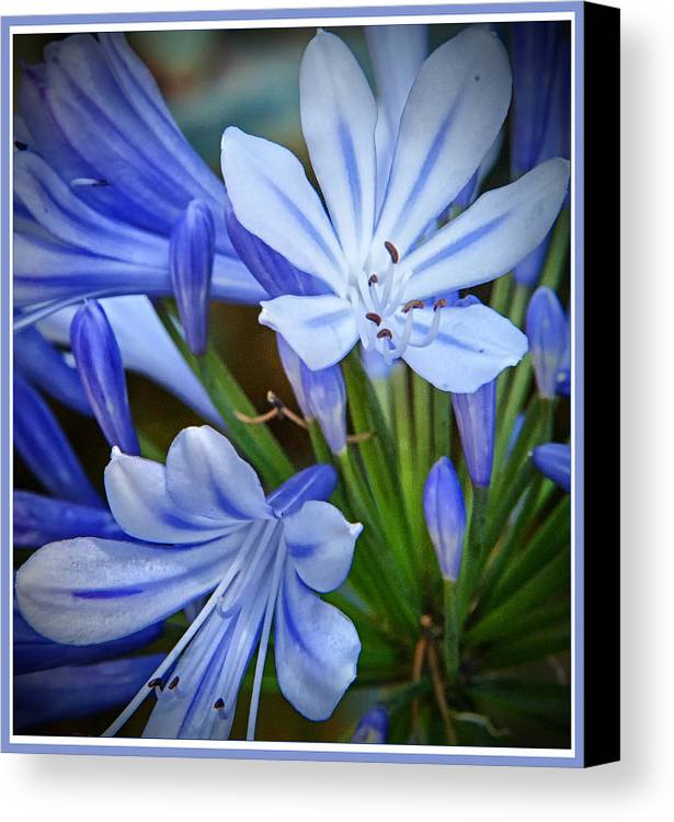 Wildflower Canvas Print featuring the photograph Blue Lilie by Barry Weiss