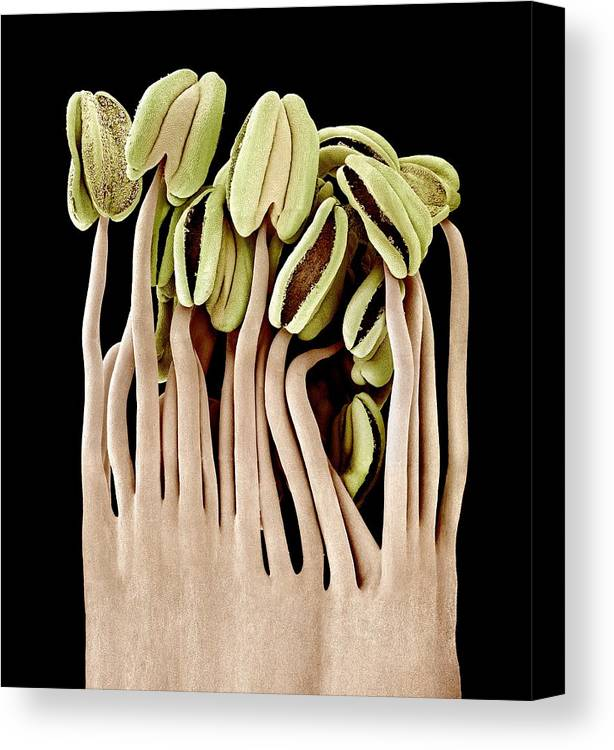 Camellia Sp Canvas Print featuring the photograph Camellia Flower Stamens, Sem by Science Photo Library