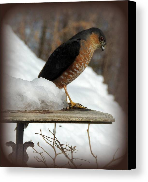 Hawk Canvas Print featuring the photograph Patience by Mim White
