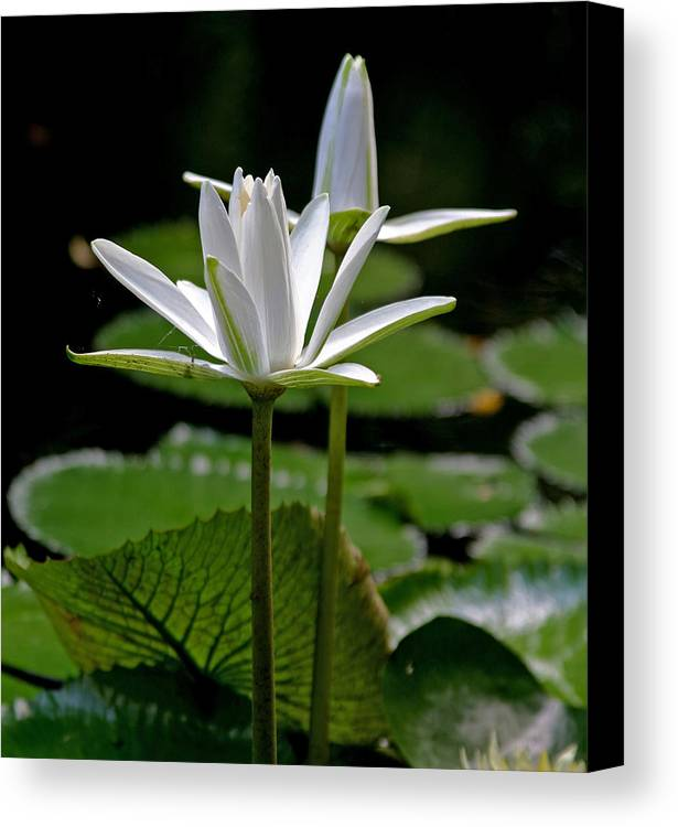 White Water Lilies Canvas Print featuring the photograph White Water Lily by Lisa Spencer