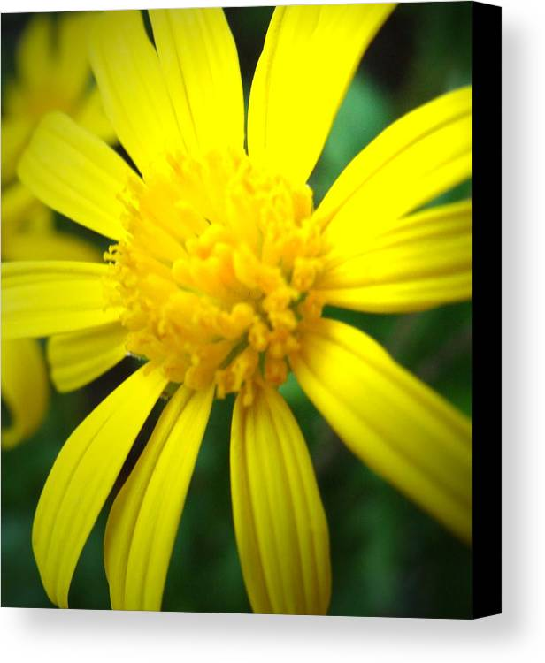 Yellow Canvas Print featuring the photograph Yellow Burst by Ramona Barnhill