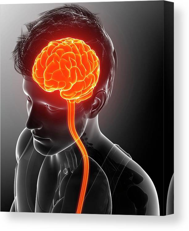 Artwork Canvas Print featuring the photograph Male Brain And Spinal Cord by Pixologicstudio/science Photo Library