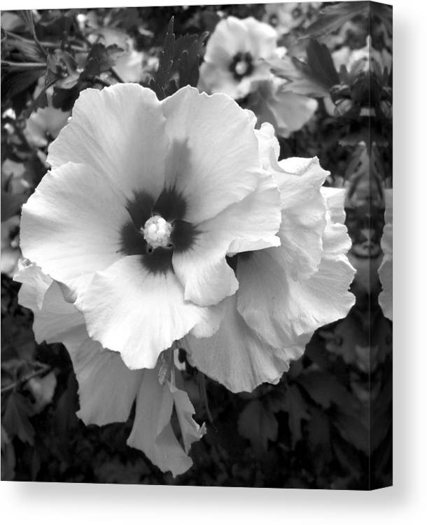 Rose Of Sharon Canvas Print featuring the photograph Rose Of Sharon - Detail B N W by Richard Andrews