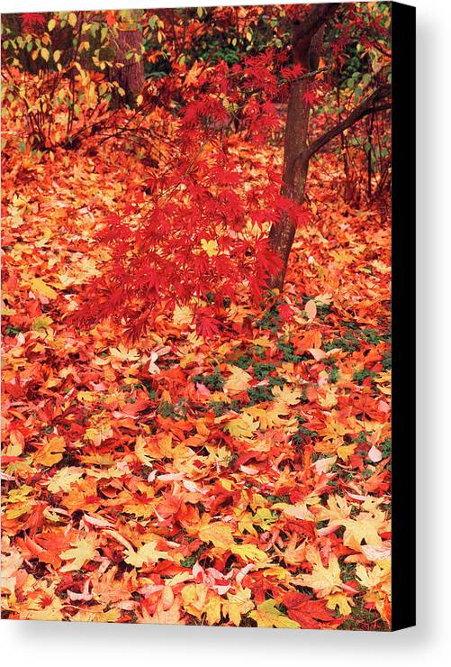 Acer Palmatum Canvas Print featuring the photograph Usa, Washington State, Seattle by Stuart Westmorland