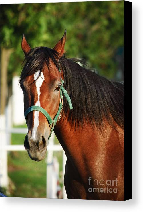 Horse Canvas Print featuring the pyrography Chestnut Horse by Jelena Jovanovic