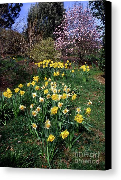 'royal Star' Canvas Print featuring the photograph Daffodils (narcissus Sp.) by Dr Keith Wheeler