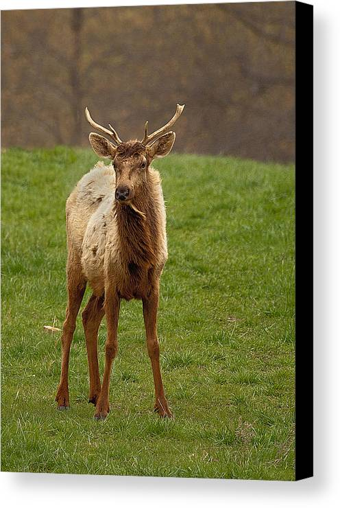 Elk Canvas Print featuring the photograph Elk 1 by Marty Maynard