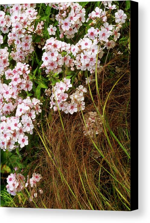 Pink flowers of phlox paniculata miss wilma perennial phlox with vertical canvas print featuring the photograph pink flowers of phlox paniculata miss wilma perennial mightylinksfo