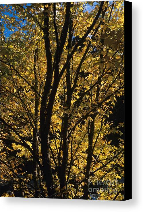 Autumn Canvas Print featuring the photograph Golden Colors Of Autumn In New England by Erin Paul Donovan