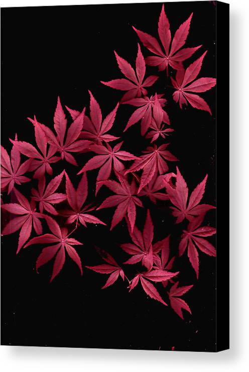 Japanese Maple Canvas Print featuring the photograph Japanese Maple Leaves by Wayne Potrafka