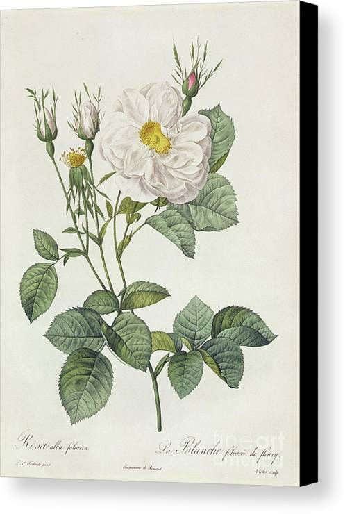 Rosa Canvas Print featuring the drawing Rosa Alba Foliacea by Pierre Joseph Redoute