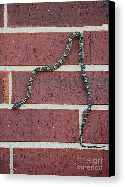 Nature Canvas Print featuring the photograph Snaking Down A Brick Wall by Lucyna A M Green