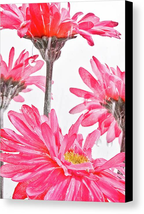 Gerber Canvas Print featuring the photograph Wet Gerbers by Jim DeLillo