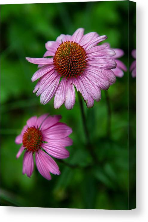 Cone Flowers Canvas Print featuring the photograph Cone Flowers by Louise St Romain