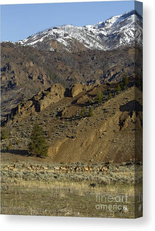Elk Canvas Print featuring the photograph Herd Of Elk  #7740 by J L Woody Wooden