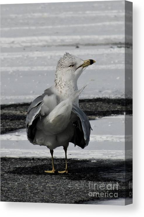Ocean City Canvas Print featuring the photograph Not A Snowgull by Lana Hauser
