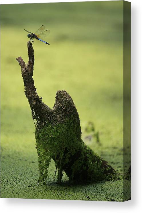 Dragonfly Canvas Print featuring the photograph Swamp Thing by David Jones