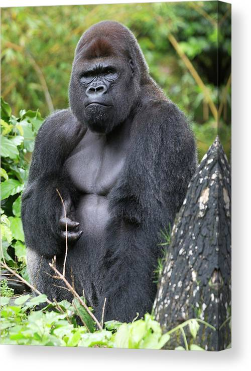 Gorilla Canvas Print featuring the photograph Silverback Gorilla by Bruce Beck