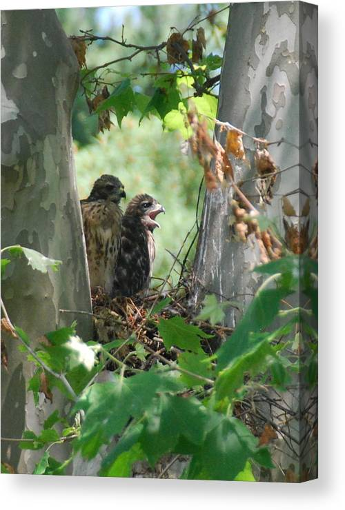 Hawks Canvas Print featuring the photograph Two Red Shouldered Hawk Chicks Calling Mom by Joe Lee