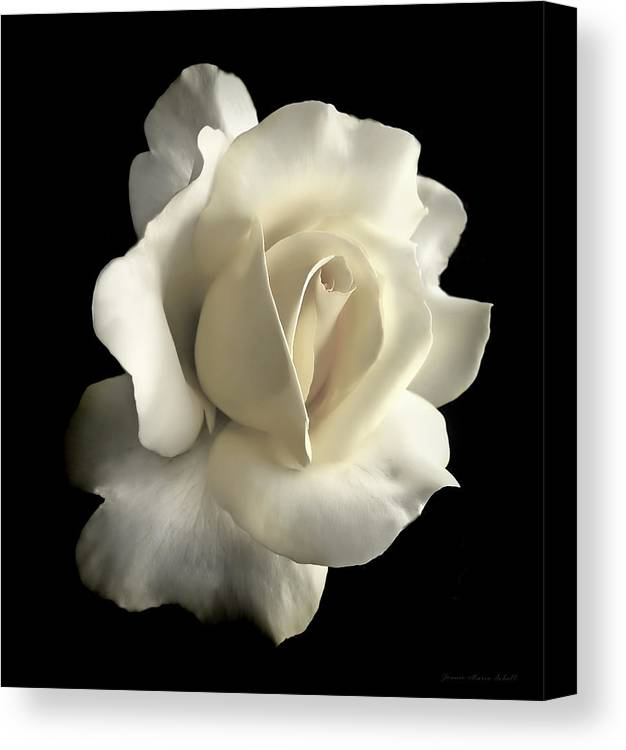 Rose Canvas Print featuring the photograph Grandeur Ivory Rose Flower by Jennie Marie Schell