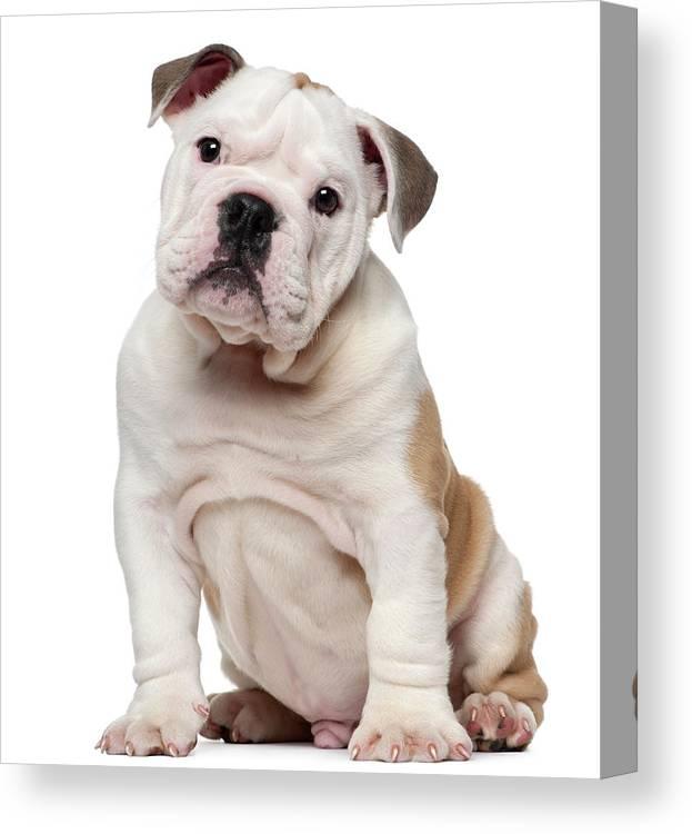English Bulldog Puppy 2 Months Old Canvas Print