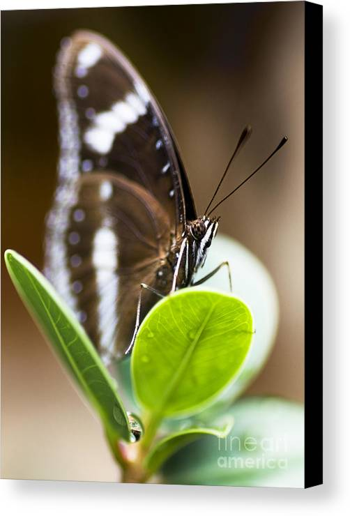 Animal Canvas Print featuring the photograph Beautiful Butterfly by Jorgo Photography - Wall Art Gallery