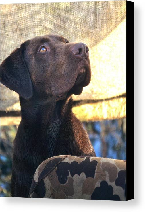 Chocolate Lab Canvas Print featuring the photograph Incoming by Mike Gnatkowski