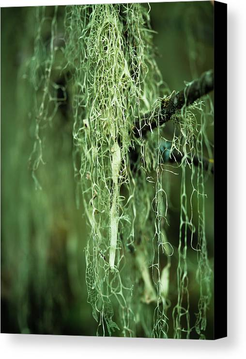 Tree Canvas Print featuring the photograph Lichen Hangs From A Tree Corvallis by Robert L. Potts