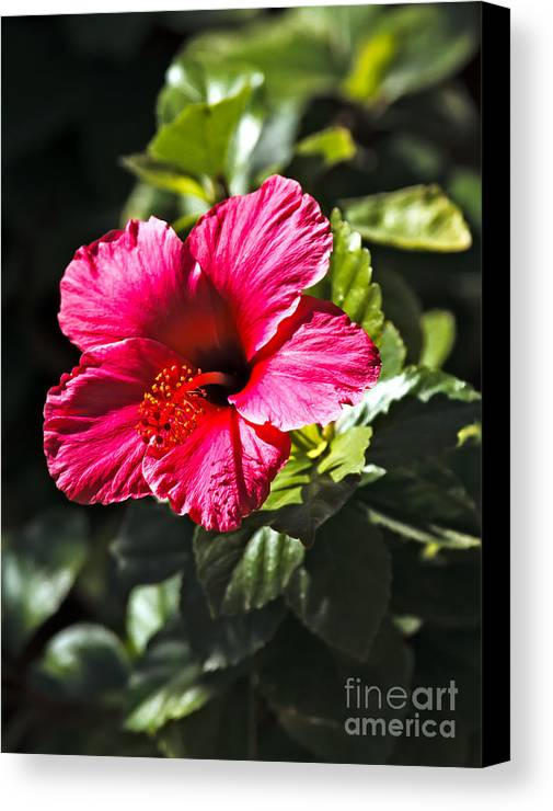 Hibiscus Canvas Print featuring the photograph Red Hibiscus by Robert Bales