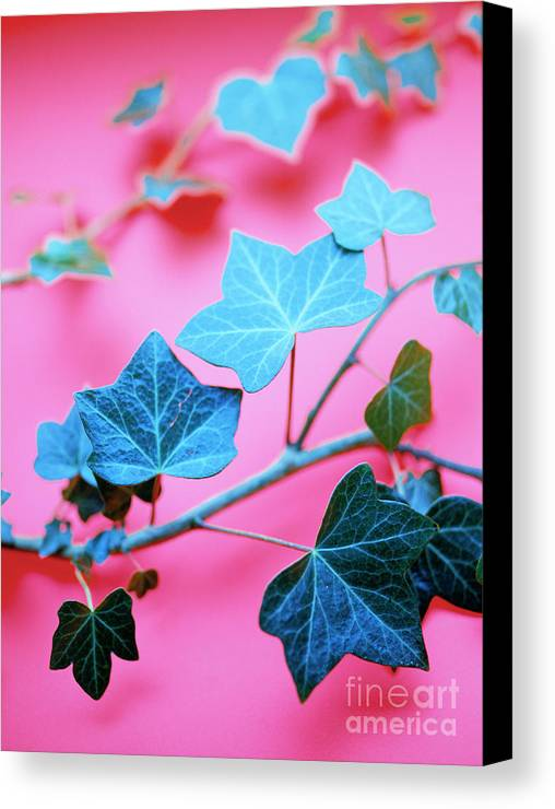 Leaves Canvas Print featuring the photograph Ivy Leaves by Lawrence Lawry