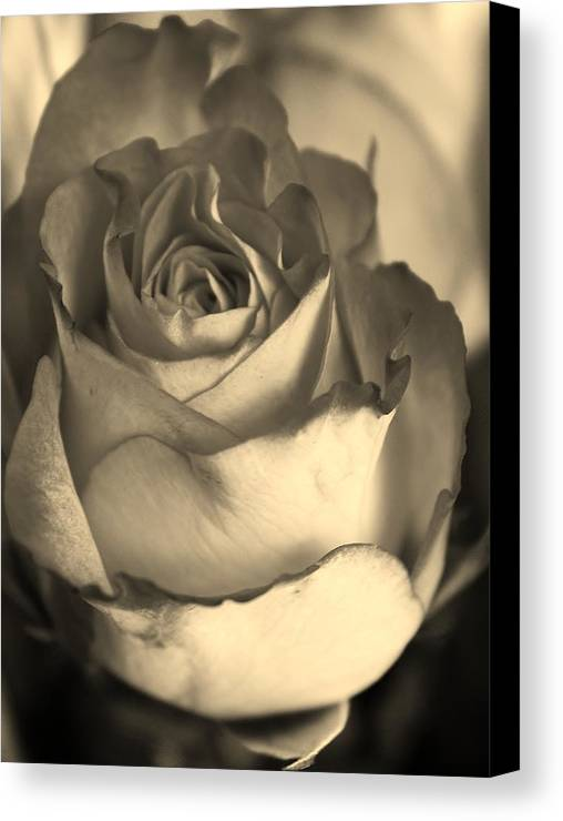 Flora Canvas Print featuring the photograph Rose In Sepia by Bruce Bley