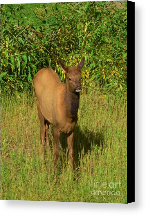 Young Canvas Print featuring the photograph Young Elk by Kathleen Struckle
