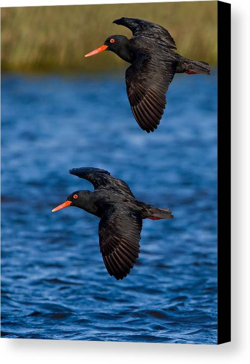 Bird Canvas Print featuring the photograph African Black Oystercatchers by Basie Van Zyl