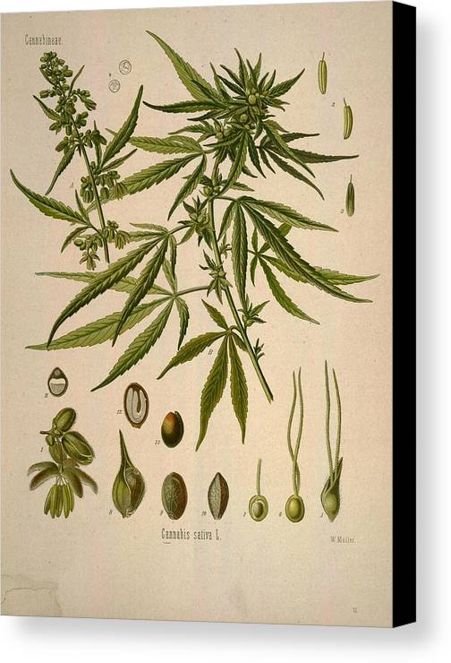 Cannabis Canvas Print featuring the painting Cannabis Sativa by Unknown