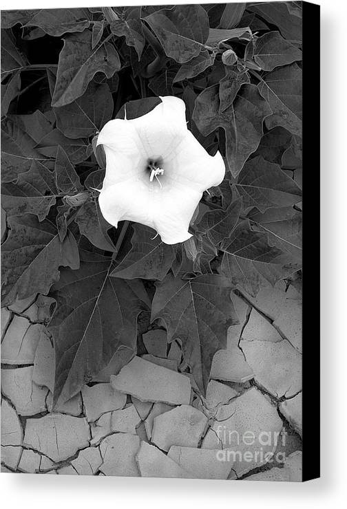 Datura Canvas Print featuring the photograph Datura by Christian Slanec