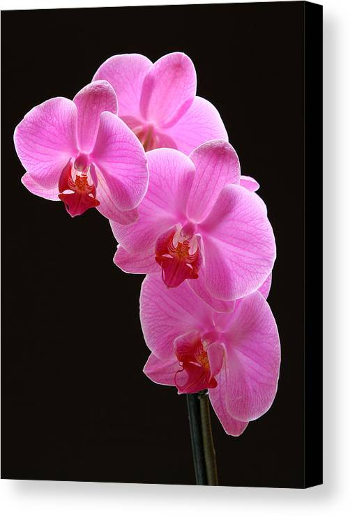 Orchid Canvas Print featuring the photograph Pink Orchids by Juergen Roth