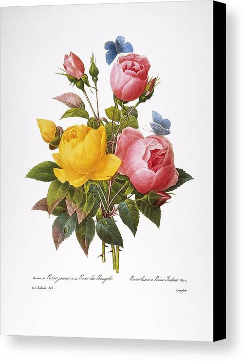 1833 Canvas Print featuring the photograph Redoute: Roses, 1833 by Granger