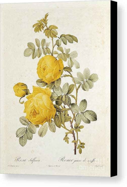 Rosa Canvas Print featuring the drawing Rosa Sulfurea by Pierre Redoute