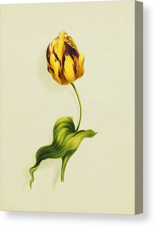 Biology Canvas Print featuring the painting A Parrot Tulip by James Holland