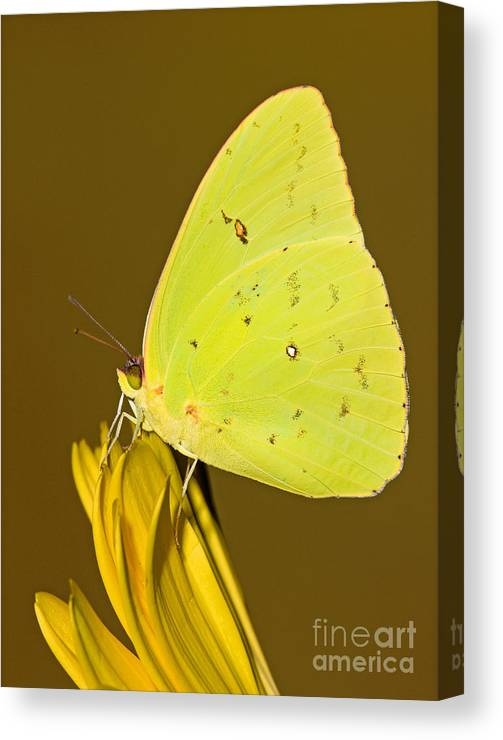 Animal Canvas Print featuring the photograph Orange Barred Sulfur Butterfly by Millard H Sharp