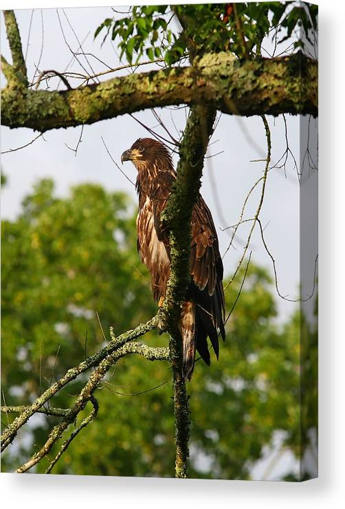 Bird Canvas Print featuring the photograph Immature Bald Eagle by James Jones