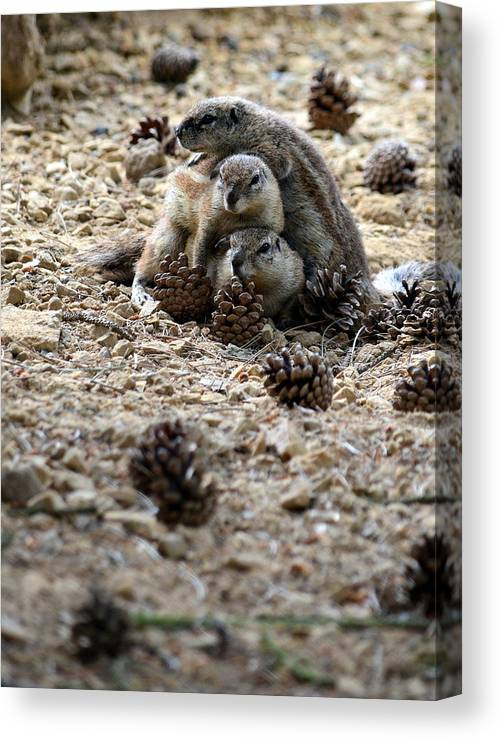 Animal Canvas Print featuring the photograph Marmot Stack by Taras Bekhta