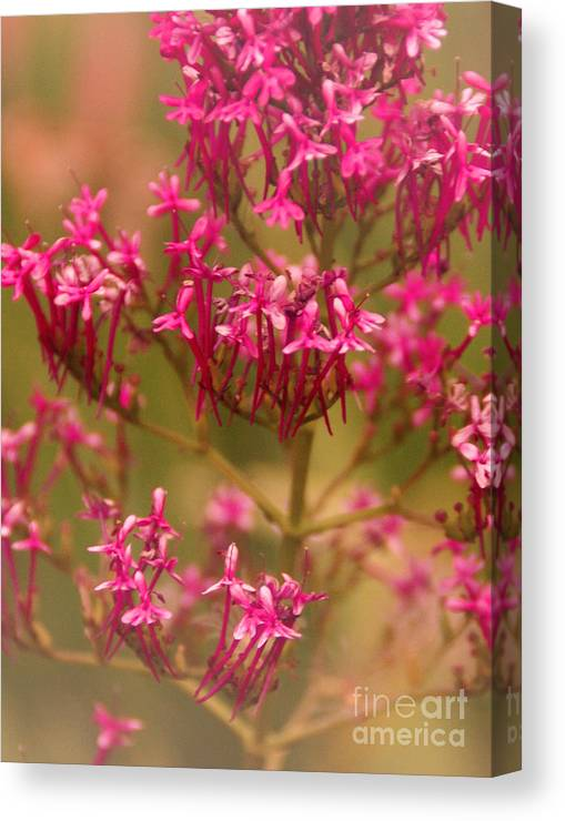Flower Canvas Print featuring the photograph Soft Pirouette by Linda Shafer